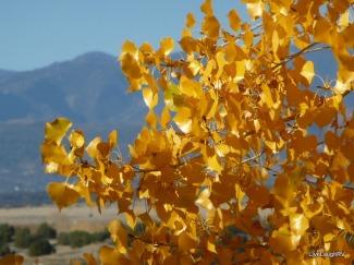 Aspen in the Fall