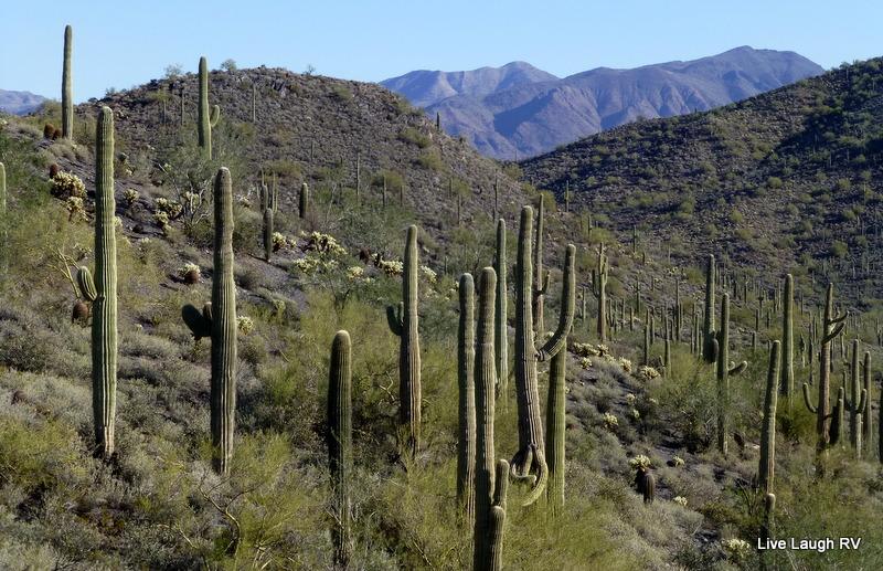 a forest of saguaro cactus, Tonto National Forest, Arizona