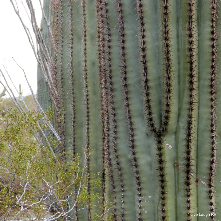 the pleats of a saguaro cactus, Phoenix, Arizona