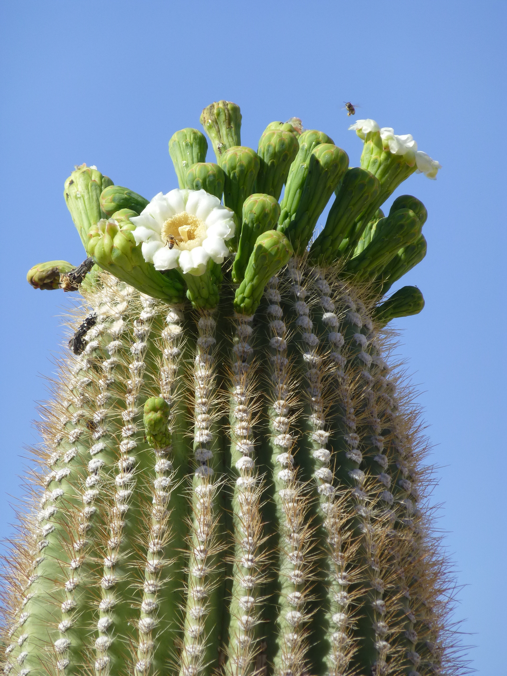 Saguaro Cactus Flower Drawing