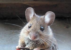 RV mice