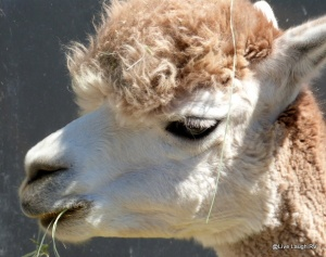 Suncrest Orchard Alpaca