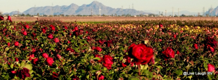 fields of roses