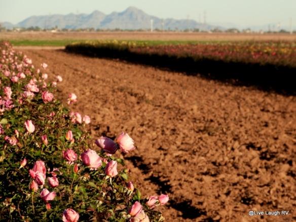 rose harvesting
