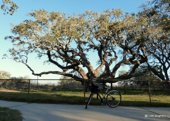 wind swept oak trees