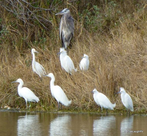 Heron & Egrets