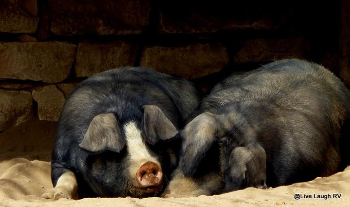 Hogs Bacon
