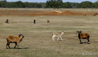 ranching in Texas