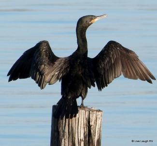 Gulf Coast birds