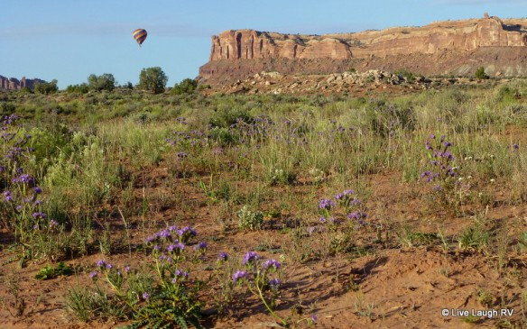 Moab wildflowers