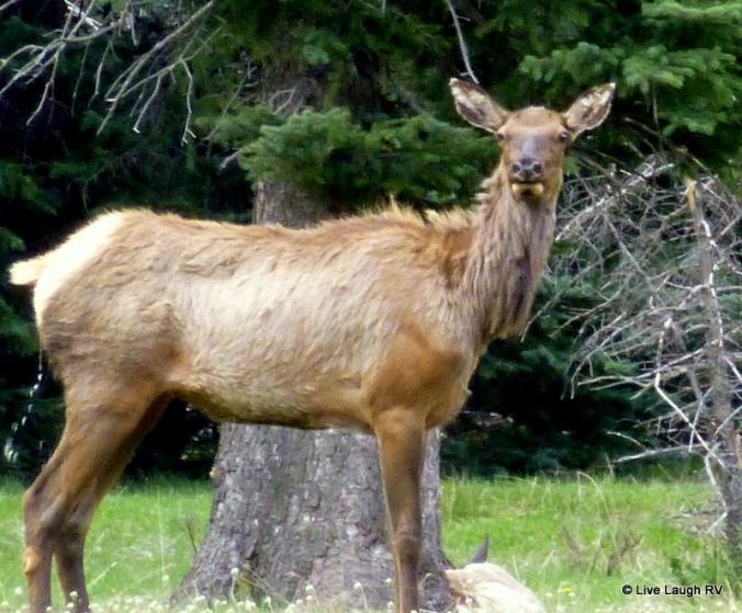 Elk in Colorado