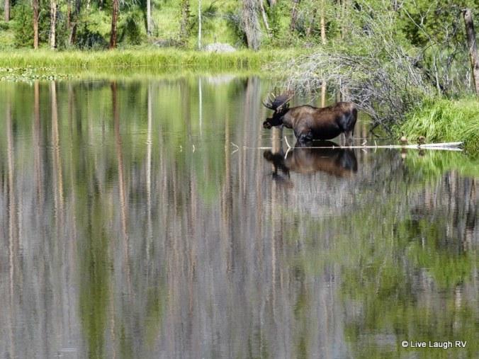 Grand lake colorado moose