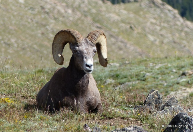 bighorn sheep colorado