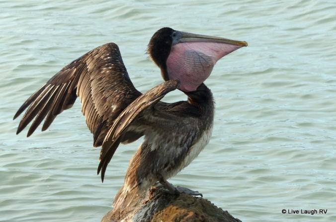 Texas Pelican