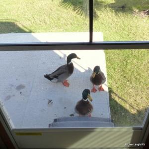 Donald Ducks nephews