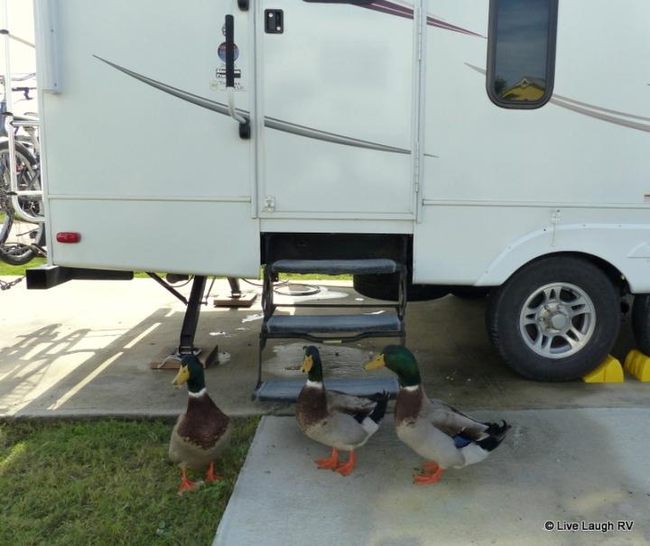 quacking ducks
