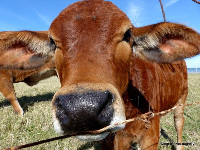 Brahma calf