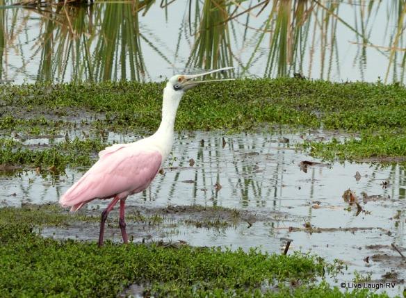 birding in Port Aransas