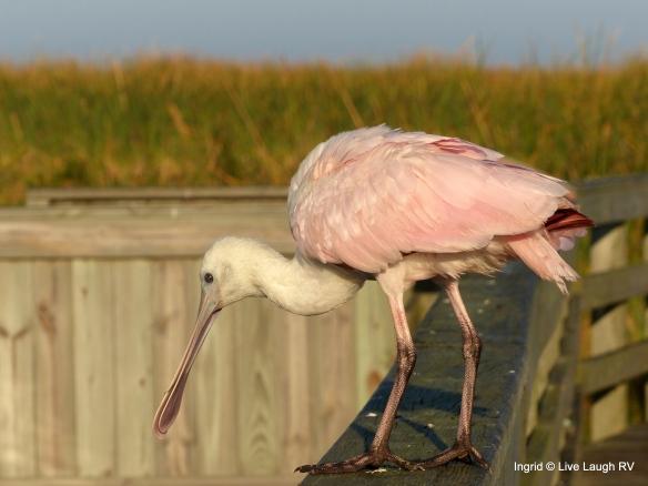 birding Port Aransas
