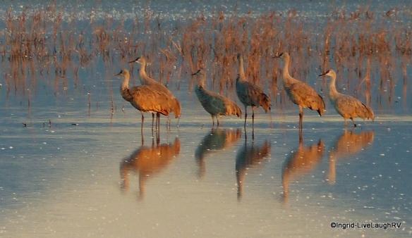 Cranes in the wild