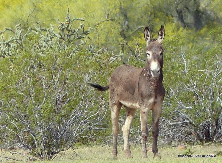 wild donkey's