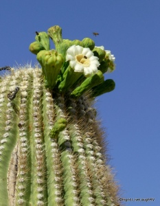 blooming saguaro