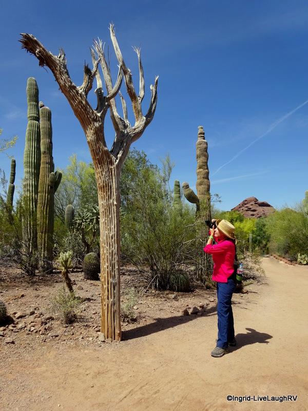 saguaro skeleton