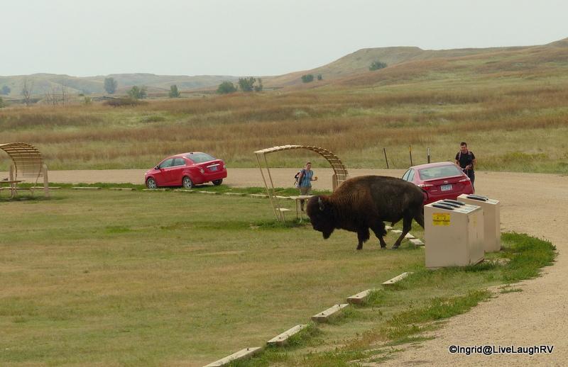 Buffalo in the Badlands