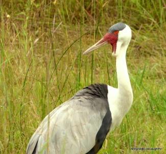 Endangered Cranes