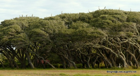 Interesting grove of oak trees. Dozens of Great Blue Herons spent the night on top of them.