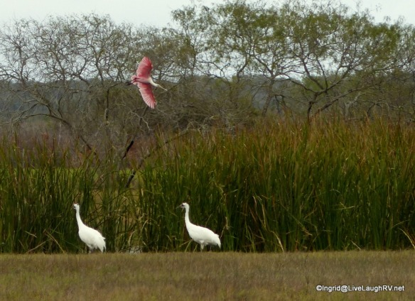 how lucky - 2 whooping cranes and a roseate spoonbill in fight