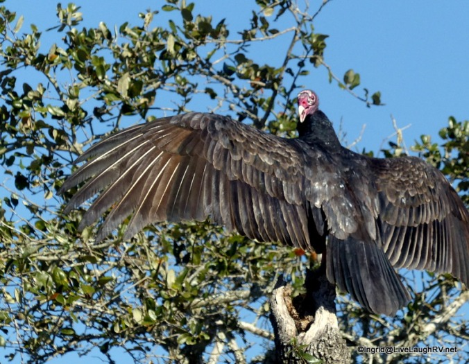 Vultures can't sing, but they do hiss
