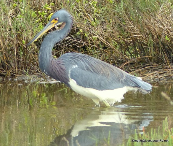 I took this photo last year of everyone's favorite tri-colored heron