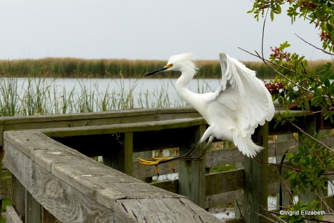 an Egret prepares to land