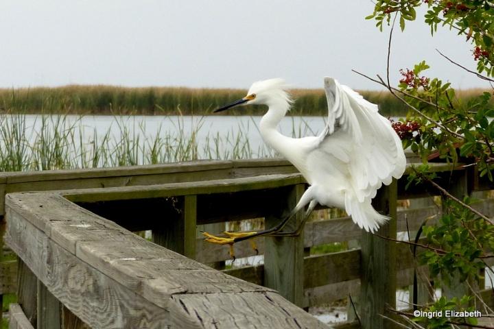 an Egret prepares to land