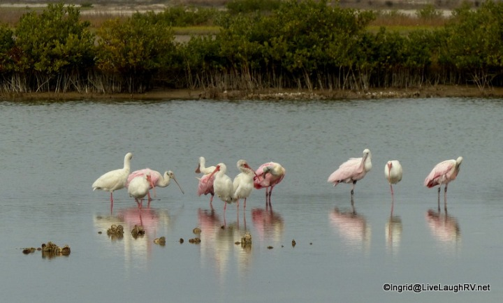 The vibrant pink of the rosette spoonbill is easy to spot.