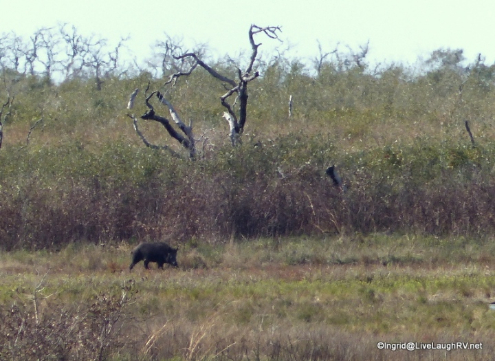 Took my digital zoom to spot that javelina or is it a hog?