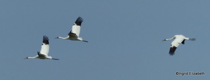 It's amazing to watch these large birds in flight