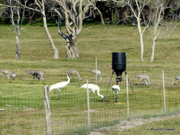 Sandhill and Whooping cranes appreciate the cracked corn during seasons of drought