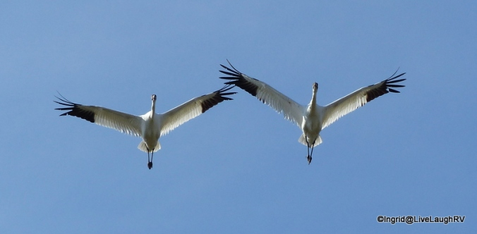 endangered whooping cranes