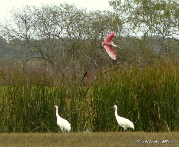 Birding Roseate Spoonbill Birding2 247