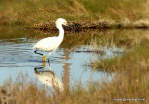 Rockport egret