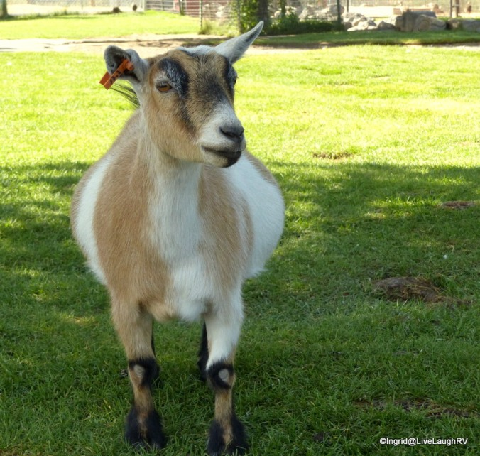 Goats are such characters!
