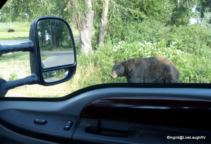 Bear roam freely at Yellowstone Bear World