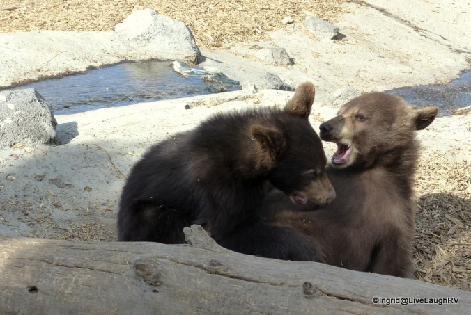 cute bear cubs at play