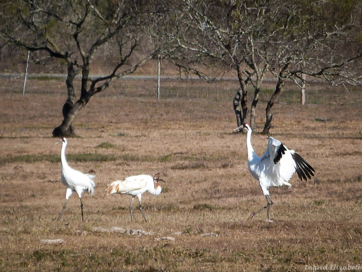 Whooping Cranes - endangered