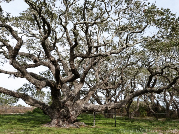 """The Big Oak Tree"" said to be over 1,000 years old."