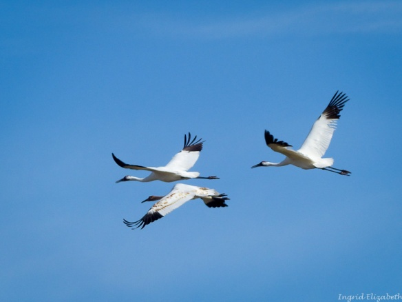 Family of whooping cranes - mom, dad, juvenile