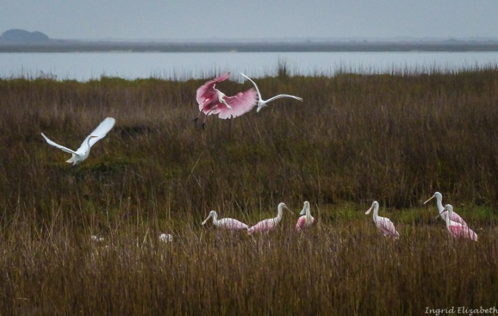 Gulf shore birds