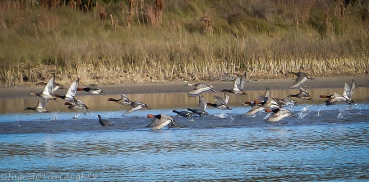 ducks in-flight